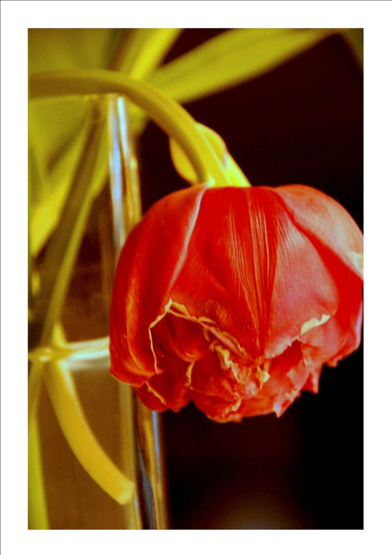L'agonie des tulipes