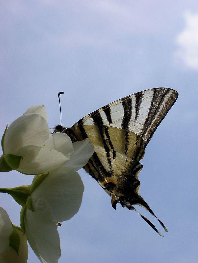 Papillon_dans_ciel_bleu