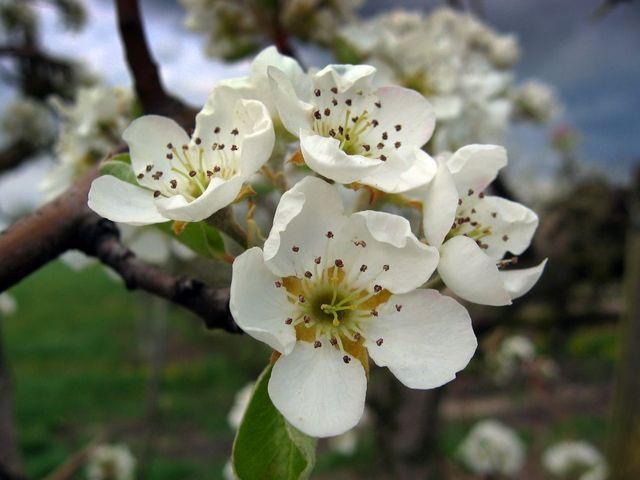Pommier_en_fleur_2
